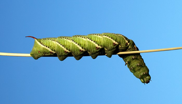 Caterpillar walking on a branch