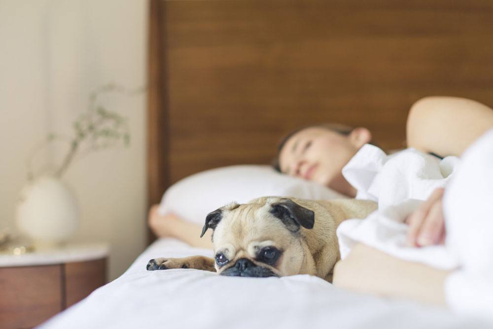 Woman sleeping in bed with a light brown pug snuggled next to her