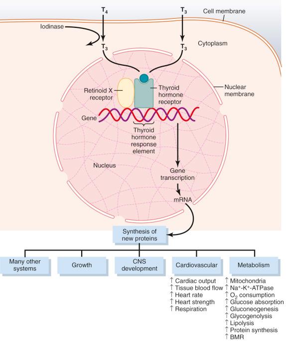Diagram of Thyroid TSH process
